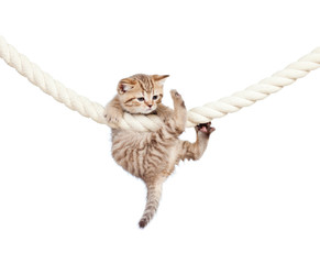 little cat clutching at rope isolated on white background