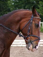 Bay dressage horse portrait