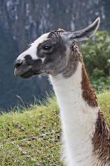Alpaca al Macchu Picchu
