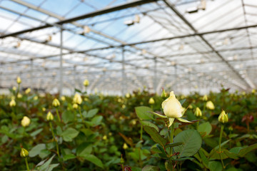Yellow roses growing inside a greenhouse