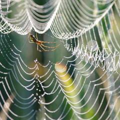 Obraz Pająk  pajęczyna w kroplach rosy wczesny ranek - fototapety do salonu