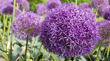 Ornamental allium flower