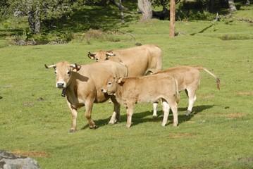 vaches et veaux