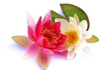 Blütenpracht - Seerosen mit grünem Blatt