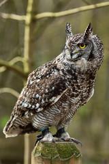 Foto auf Gartenposter Eulen cartoon Eurpoean Eagle Owl