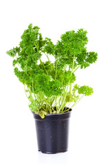 plant of parsley in pot