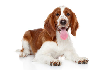 Wall Mural - Springer Spaniel puppy on a white background