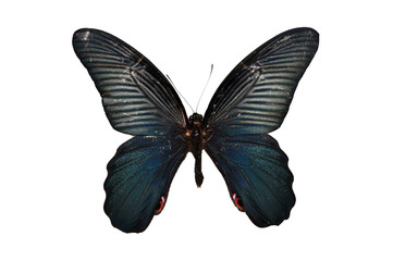 Black butterflies isolated
