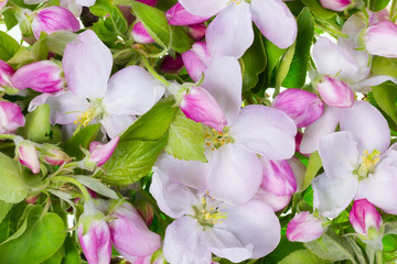 Pink apple flowers background