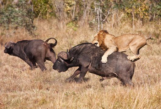 Male lion attack huge buffalo bull