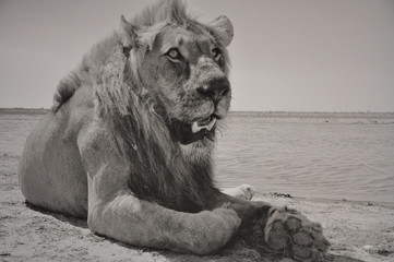 Namibia Löwe SW