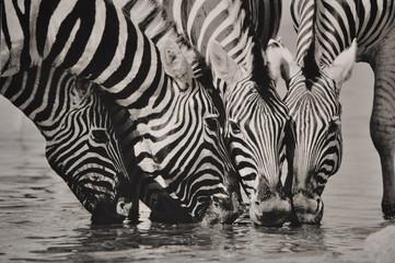 Namibia Zebra SW