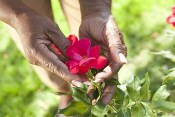 Senior African American Woman Hands Holding Rose Flower