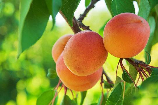 Ripe Apricots on the branch in fruit orchard