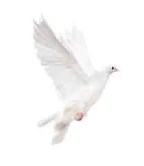 isolated white dove