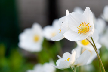 Tender white flower with a yellow middle