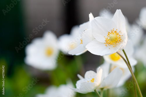 Tender white flower with a yellow middle stock photo and royalty tender white flower with a yellow middle mightylinksfo