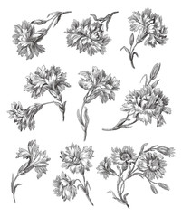 Cloves illustration