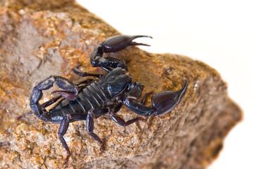 black scorpion on the rock
