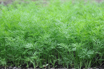 Organically grown dill in the soil. Organic farming in rural are