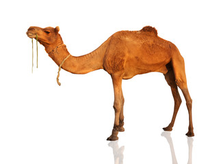 Poster Kameel The lonely domestic camel isolated on white.