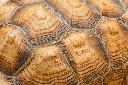 Rückenpanzer einer Schildkröte