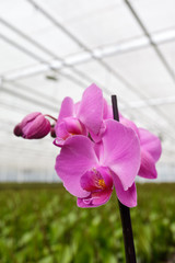 Purple orchidaceae in greenhouse