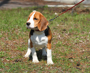 Beagle dog out for a strol