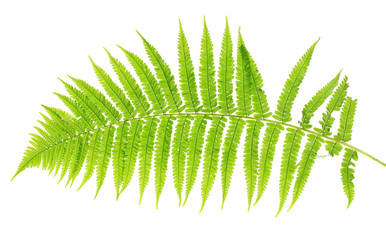 Fern on white background close-up