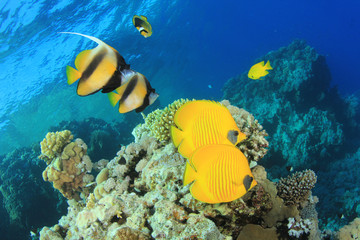 Tropical Fish on Coral Reef: Butterflyfish and Bannerfish