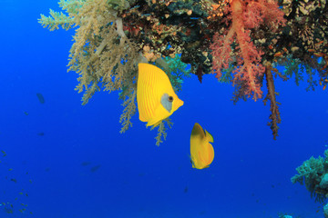 Masked Butterflyfish and Soft Corals