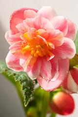 Pink begonia flower
