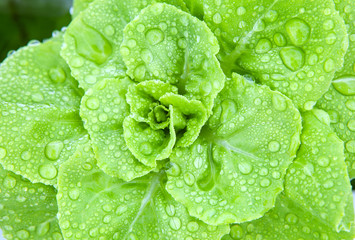 fresh hydroponics vegetable with water dew
