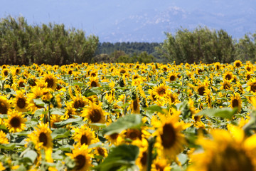 yellow sunflowers against a wide field and mountain