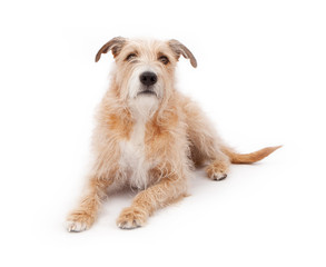 Mixed Breed Large Scruffy Dog Laying Down