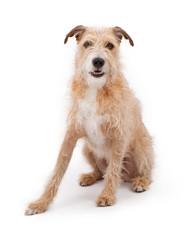 Mixed Breed Large Scruffy Dog