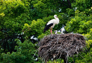 The stork family