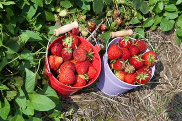 Zwei Blecheimer mit frischen Erdbeeren