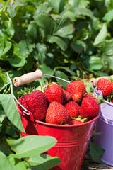 Nahaufnahme ernterfrischer gepflückte Erdbeeren im Blecheimer
