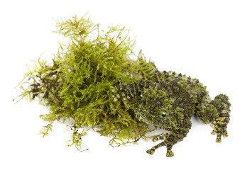 Mossy Frog next to Moss, Theloderma corticale, also known as a V