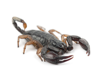 European Yellow-Tailed Scorpion, Euscorpius flavicaudis