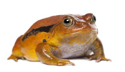False Tomato Frog, Dyscophus guineti