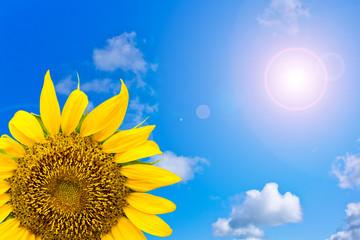 sun flower in blue sky