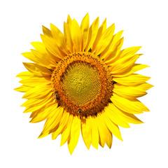 Sonnenblume mit Beschneidungspfad