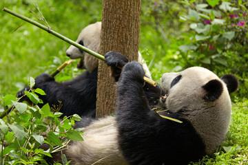 Wall Mural - Giant panda eating bamboo
