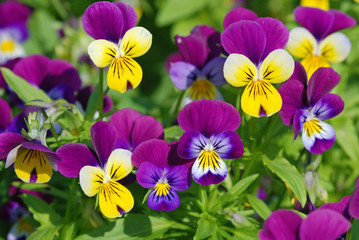 Photo sur Toile Pansies Pansies