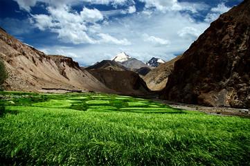 champs de blé au Ladakh