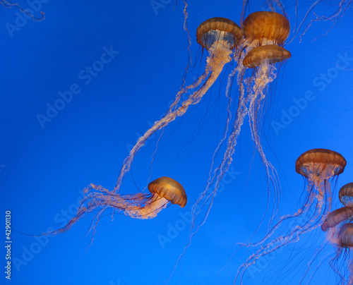 Wall mural Jelly fishes in the blue sea
