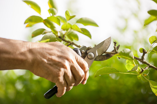 Pruning of  trees with secateurs