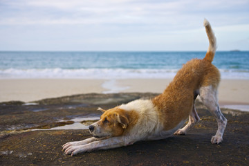 Yoga dog on the beach